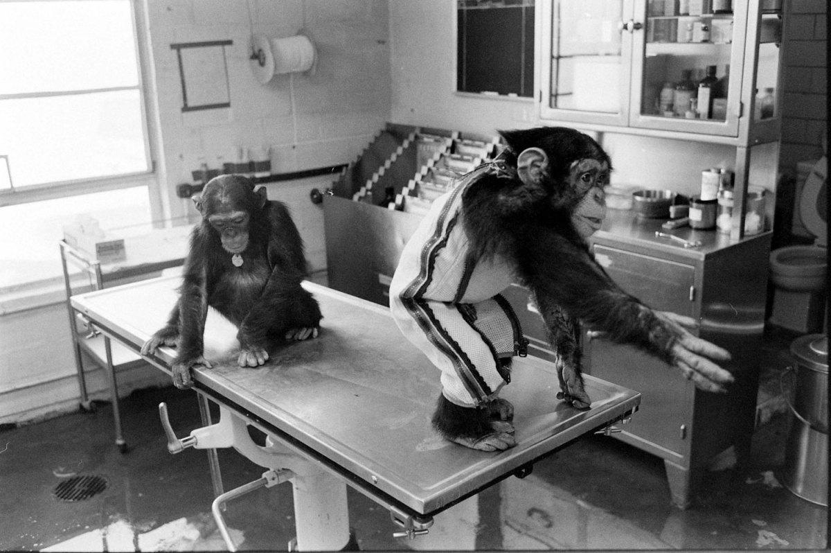 Ham_primer_chimpancé_astronauta-fotografia-oldskull-10