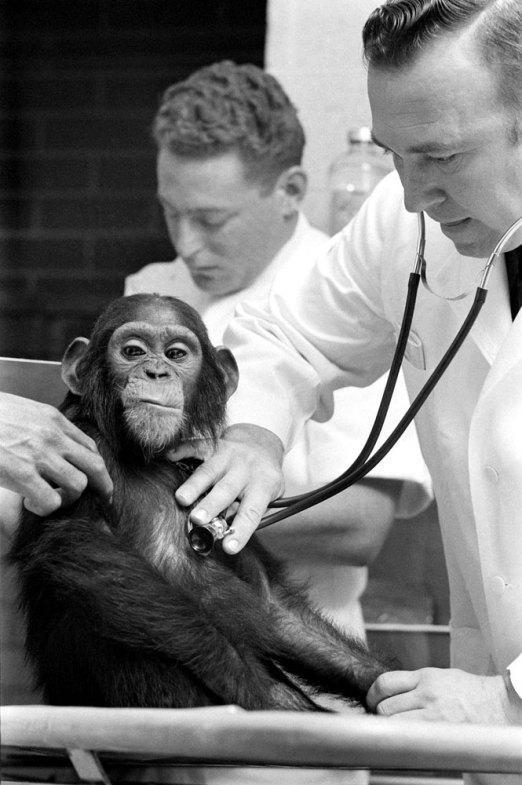 Ham_primer_chimpancé_astronauta-fotografia-oldskull-16
