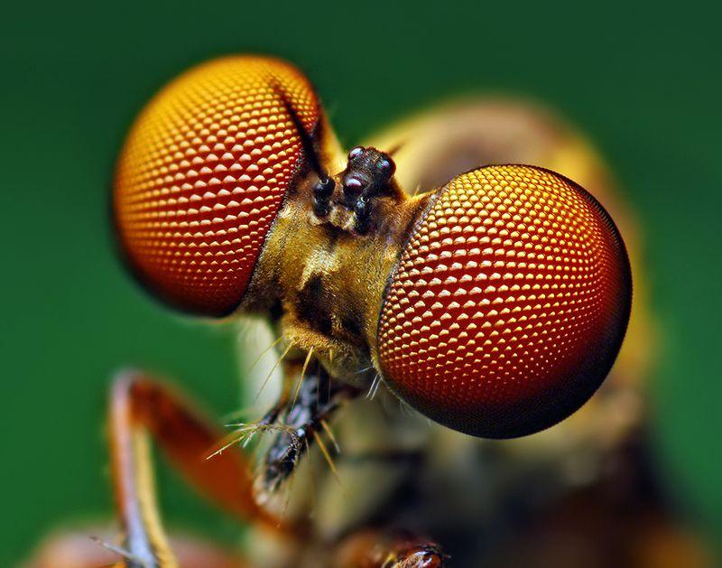 Fotografía de una mosca en macro