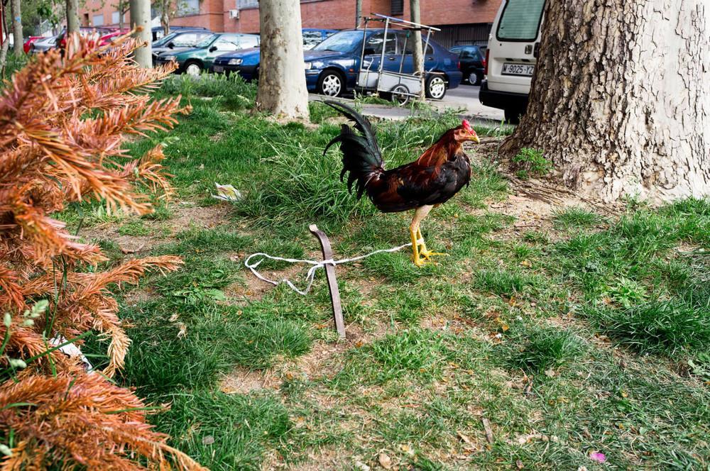 Fotografía de un gallo de pelea