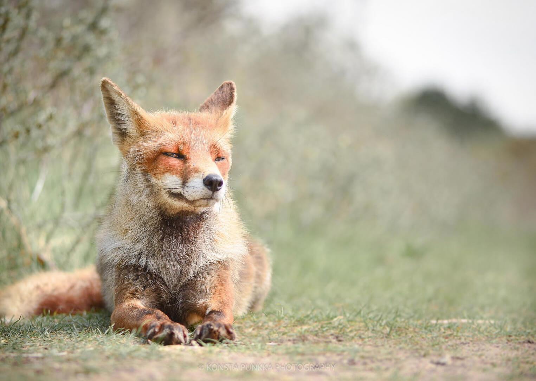 Fotografia de un zorro acostado