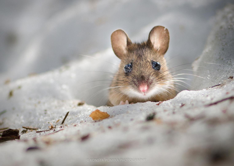 fotografía de un ratón de cerca