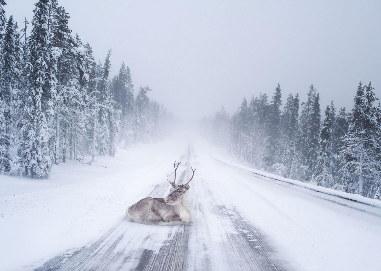 Fotografía de un reno tumbado