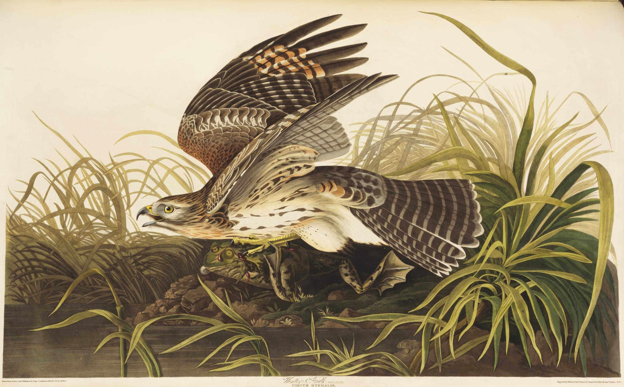 ilustración de un halcón de el libro birds of america