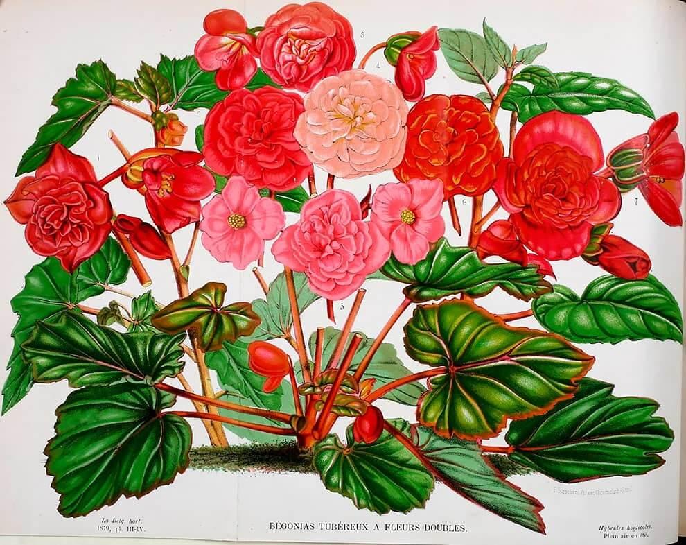 Dibujo e ilustracion de rosas