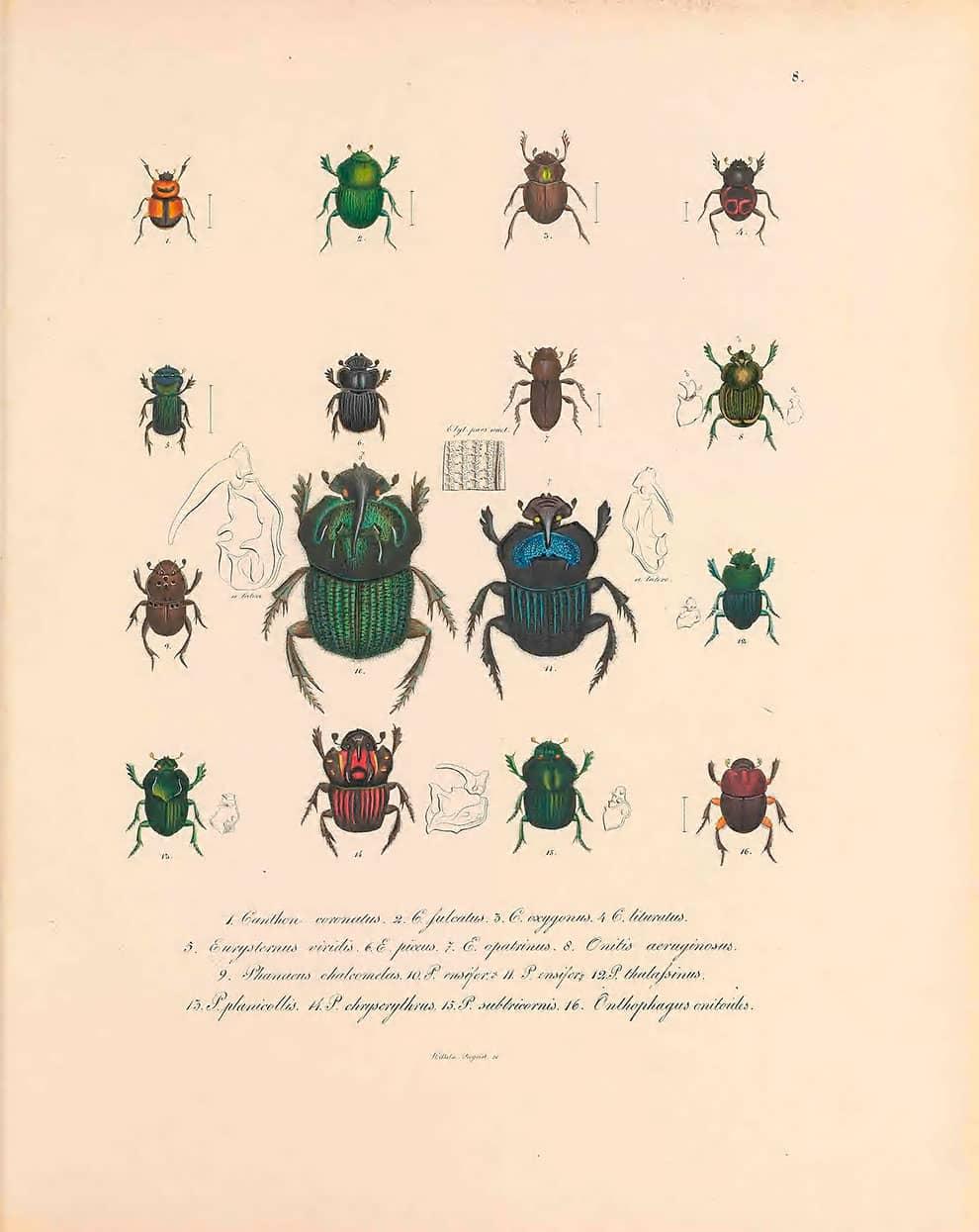 ilustración de escarabajos