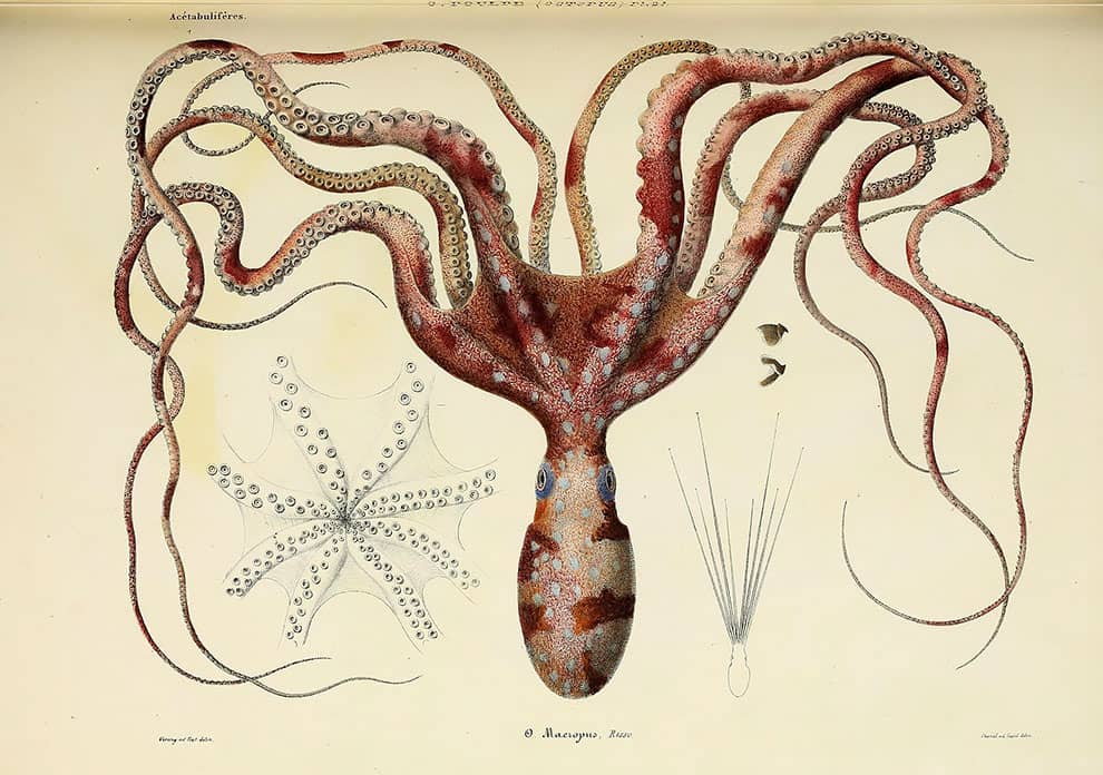 ilustración de un pulpo y una estrella de mar de la biblioteca para biodiversidad