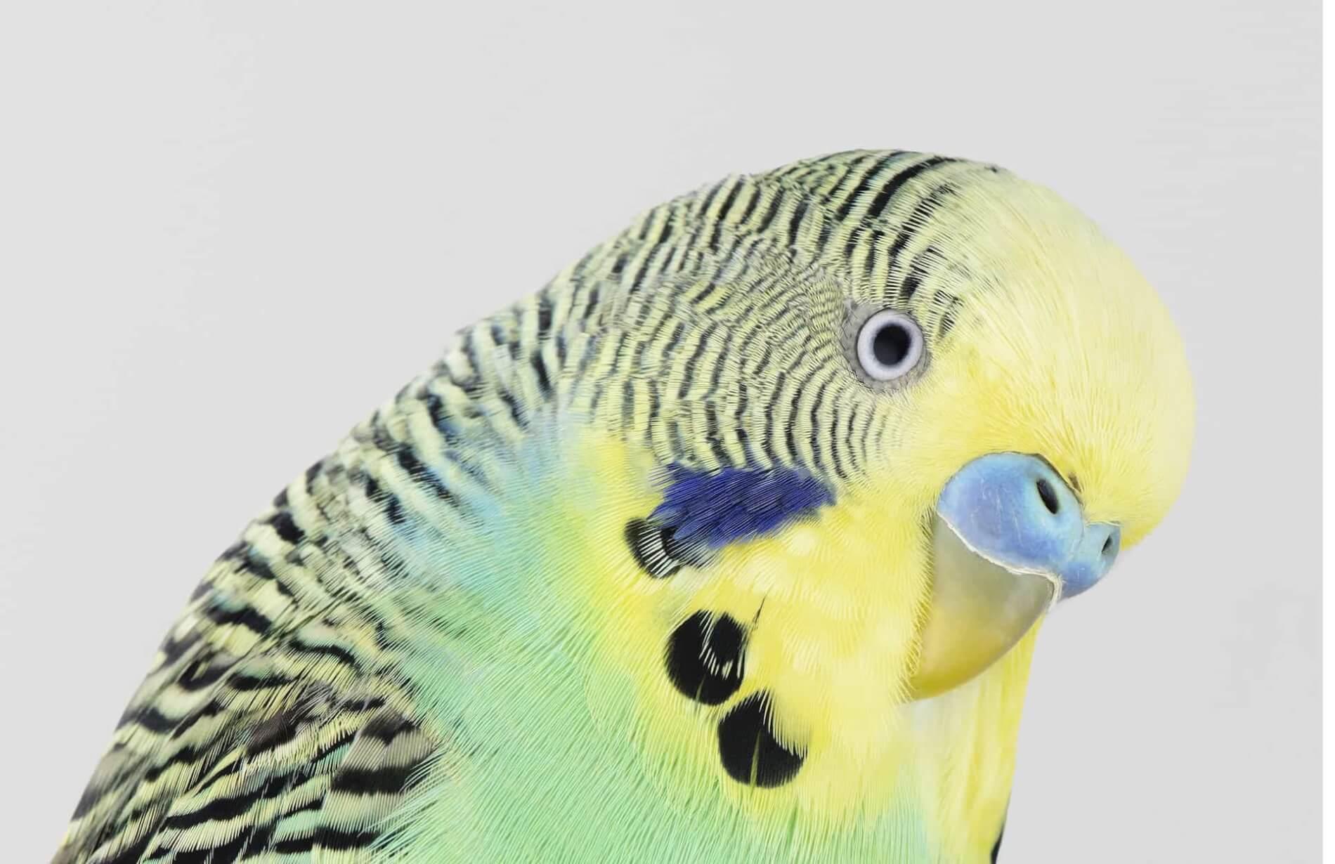 budgie fotografia aves leila jeffrys