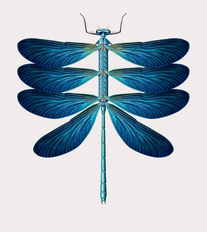 libelula especies creativas