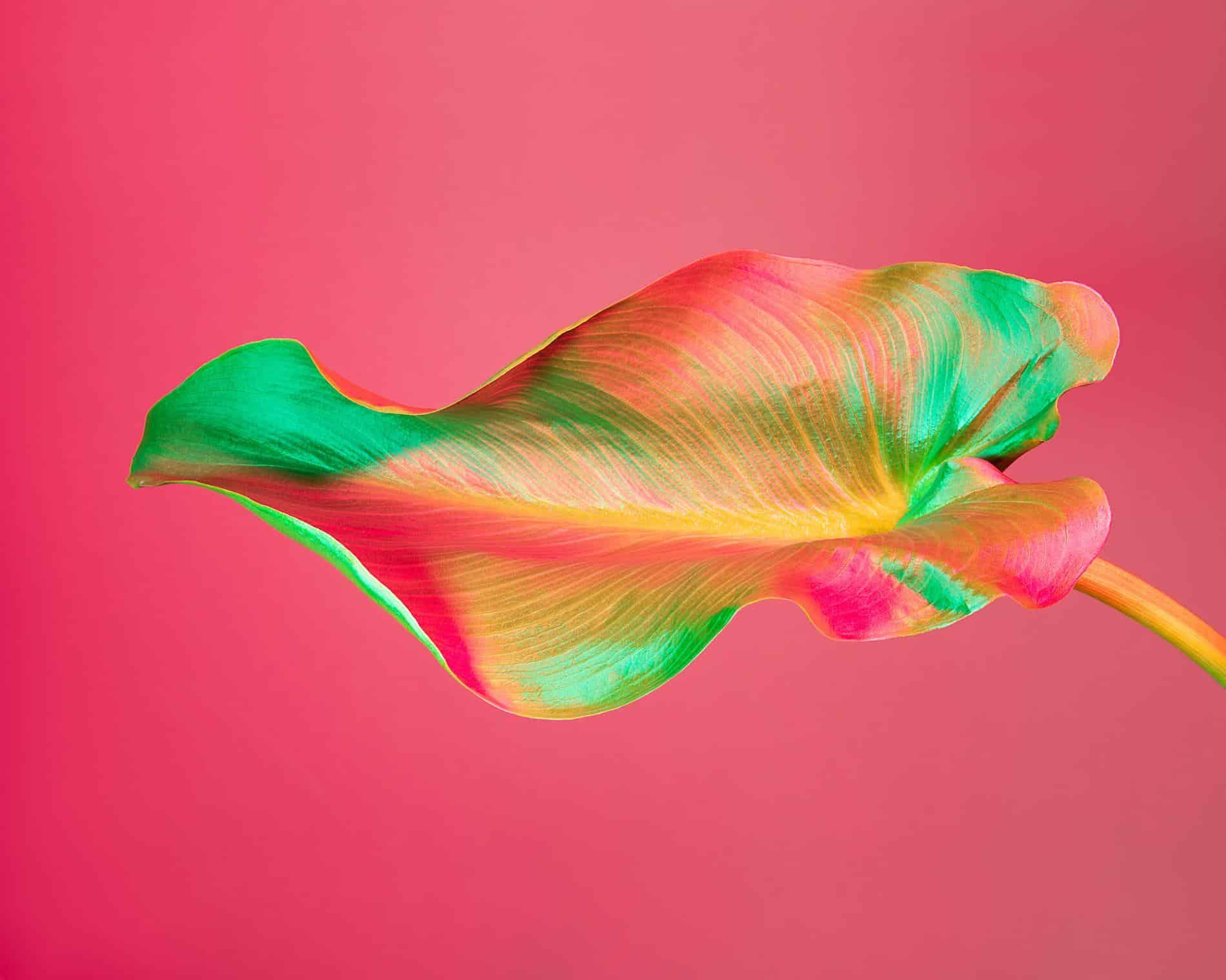 rickert flores botanica de otro mundo calla lily leafe