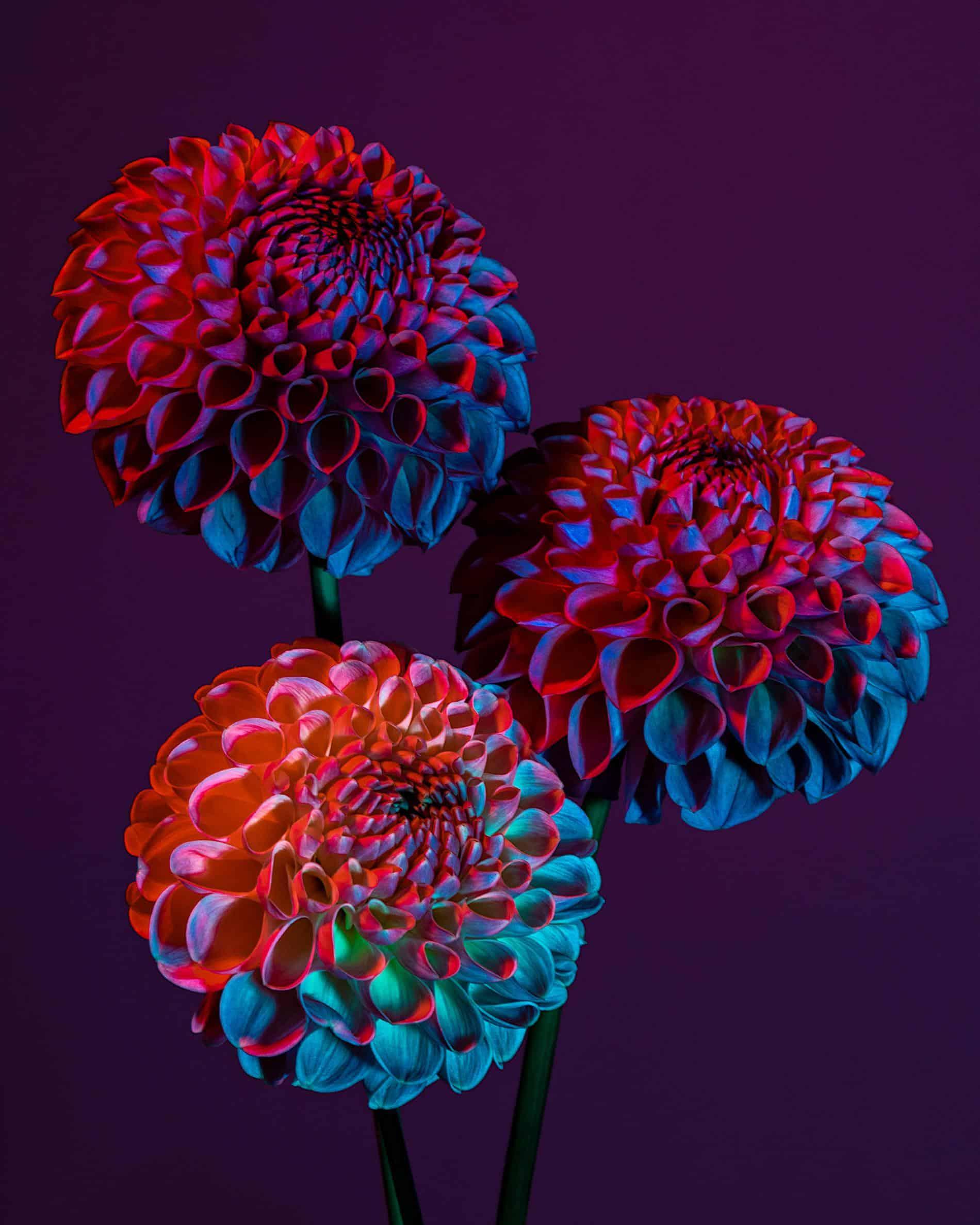 rickert flores botanica de otro mundo dhalias