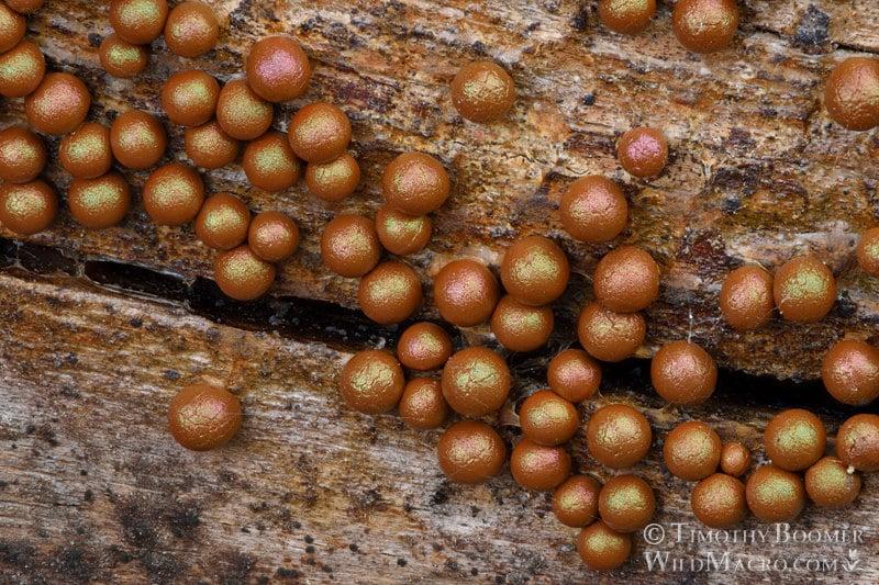 Prototrichia-metallica-slime-Timothy Boomer detalle