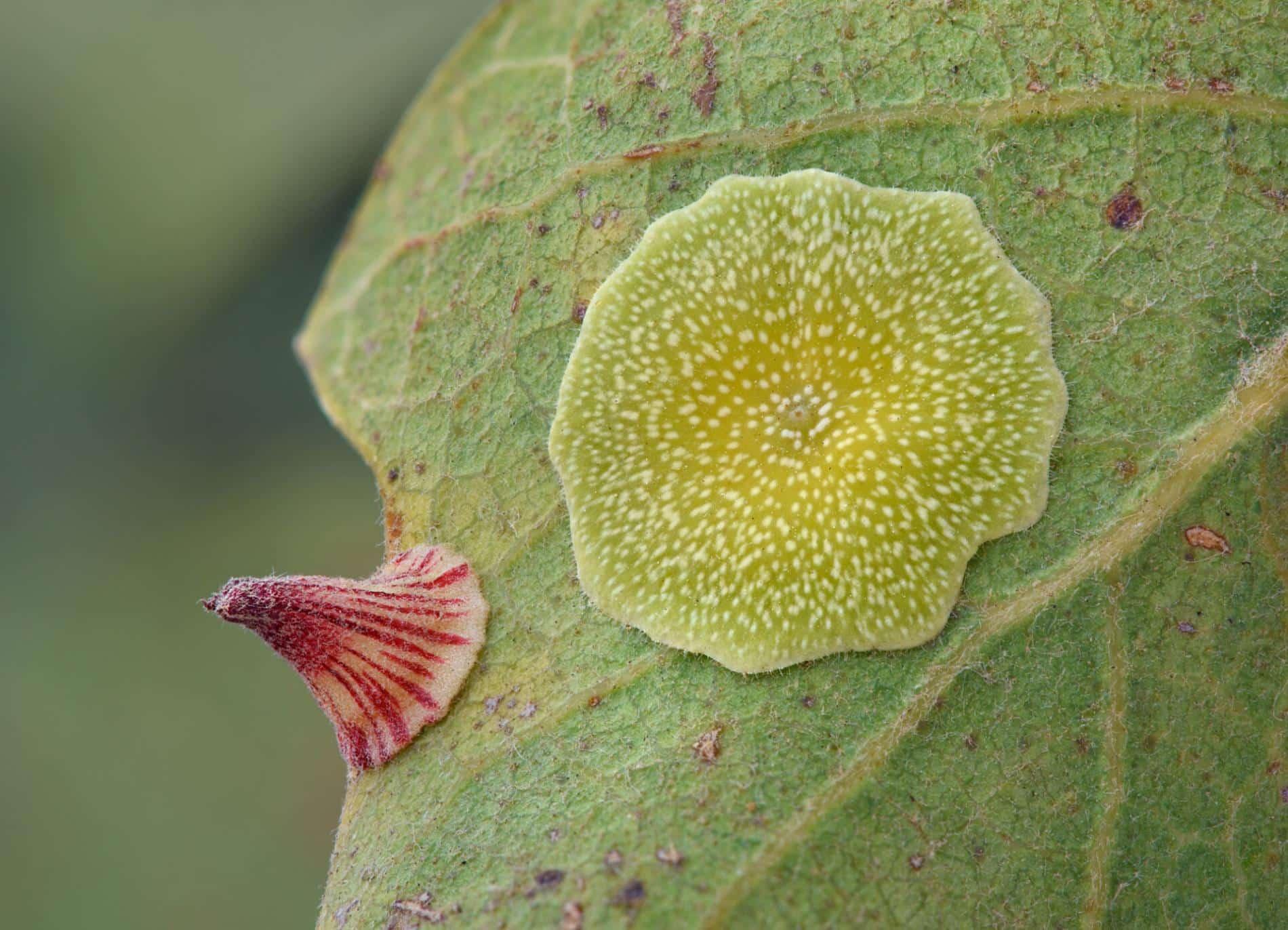 Timothy Boomer flor macro agalla