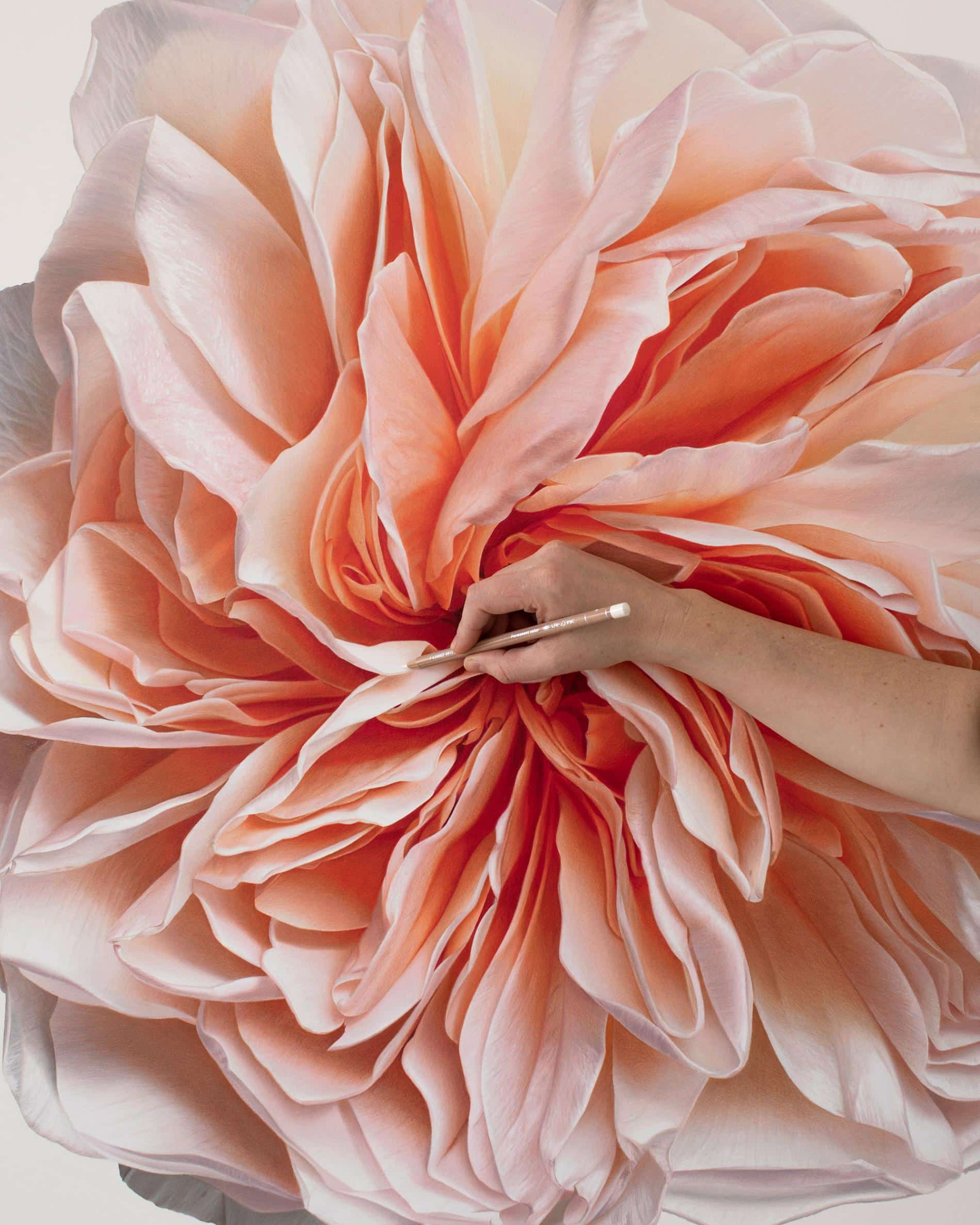 hendry flor bloom detalle peach rose